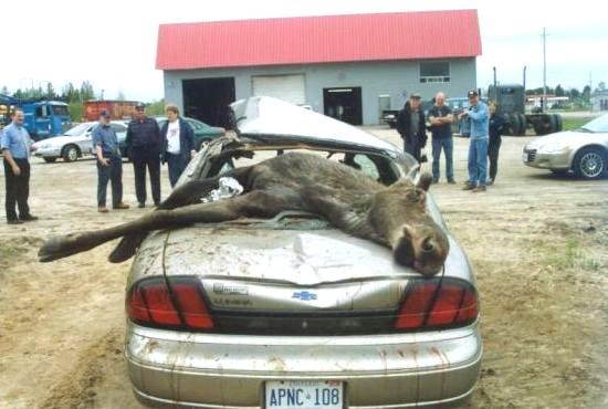 wypadek samochodu z łosiem